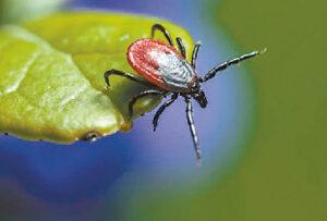 Maža kraują siurbianti erkė žmogaus organizme gali sukelti nemažai sveikatos sutrikimų.