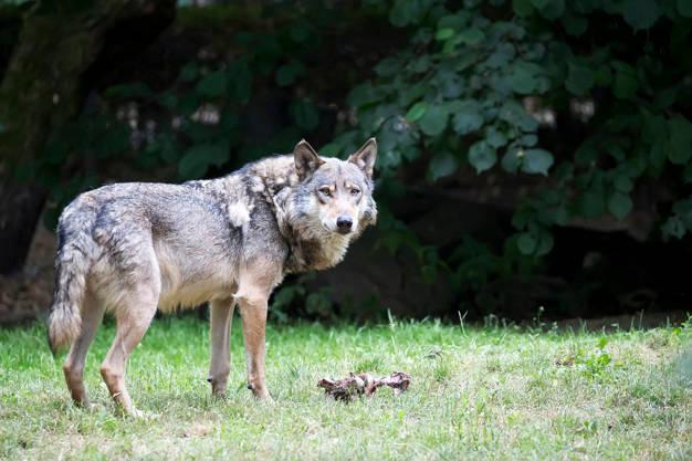 Kaip spręsti ūkininkų ir vilkų konfliktus