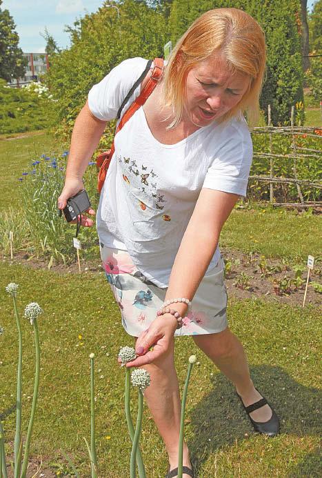 Antramečiai svogūnų augalai – sėklojai, iš kurių žiedynstiebių gaunamos sėklos.